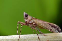 Atrata Fabricius van cicadeCryptotympana Royalty-vrije Stock Afbeelding