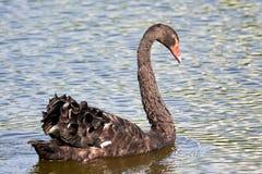 Atratus bonito do Cygnus do retrato da cisne preta na água fotos de stock royalty free
