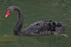 Atratus Cygnus черного лебедя стоковые изображения rf