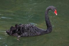 Atratus Cygnus черного лебедя стоковая фотография rf
