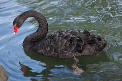 Atratus Cygnus черного лебедя стоковое изображение