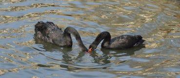 Atratus de Cygnus de cygne noir Amour Photographie stock
