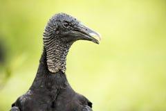 Atratus do Coragyps do abutre preto Imagem de Stock Royalty Free