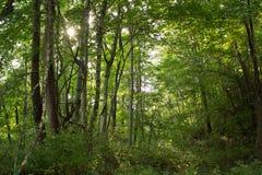 Através das árvores Foto de Stock Royalty Free