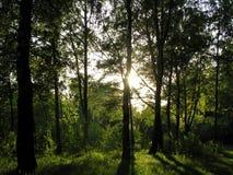 Através de uma floresta ao sol Fotografia de Stock Royalty Free