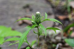 Atrctylodes japonica / Japanese atractylodes. Atractylodes japonica is a medicinal herb of Asteraceae stock images