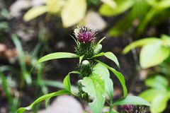 Atrctylodes japonica / Japanese atractylodes. Atractylodes japonica is a medicinal herb of Asteraceae stock photography