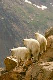 Atreviéndose tres pocas cabras de montaña - Colorado Fotografía de archivo