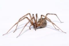 Atrica de Tegenaria - araña grande aislada en blanco Imagenes de archivo