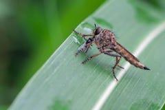 Atricapillus di Tolmerus Fotografie Stock