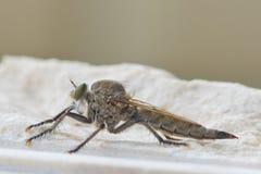 Atricapillus Machimus Стоковые Фотографии RF