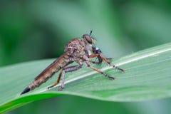 Atricapillus Tolmerus Στοκ Εικόνα