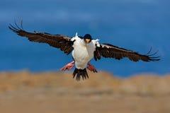 Atriceps impériaux de tapis à longs poils, de Phalacrocorax, cormoran en vol, mer et ciel bleu-foncé, Falkland Islands Scène de f Photo libre de droits