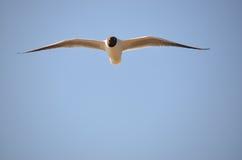 atricilla鸥larus笑 库存图片
