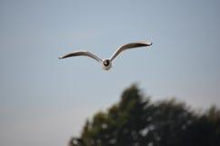 atricilla鸥larus笑 免版税库存图片