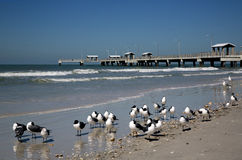 笑的鸥(鸥属atricilla)和钓鱼码头 免版税图库摄影