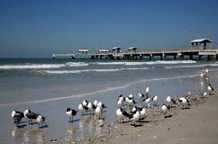 Смеясь над чайки (atricilla Larus) и удить пристань Стоковая Фотография RF