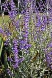 Atriplicifolia de Perovskia fotos de archivo