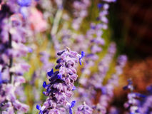 Atriplicifolia de Perovskia y x27; Spire& azul x27; fotografía de archivo libre de regalías