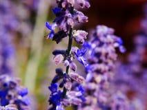 Atriplicifolia de Perovskia y x27; Spire& azul x27; imagen de archivo libre de regalías