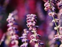 Atriplicifolia de Perovskia y x27; Spire& azul x27; foto de archivo libre de regalías
