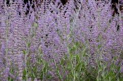 Atriplicifolium van Perovskia Royalty-vrije Stock Afbeeldingen