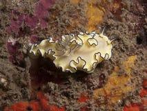 Atromarginata de Nudibranch - de Glossodoris photos libres de droits