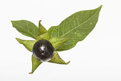 Atropa belladonna Stock Images