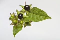 Atropa belladonna Stock Image