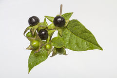 Atropa belladonna Stock Photo