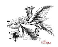 Atropa, botanical vintage engraving Royalty Free Stock Photo