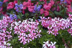 Atropurpurea Creeping Phlox Royalty Free Stock Photography