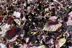 Atropurpurea de frutescens de Perilla Photo libre de droits