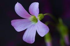 Atropurpurea de regnellii d'Oxalis de fleur Photographie stock libre de droits