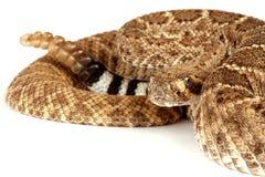 atrox响尾蛇西部菱纹背响尾蛇的响尾蛇 库存图片