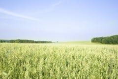 Оats field Royalty Free Stock Photo