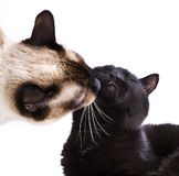 Сats kissing. Siamese cat kisses the black cat Royalty Free Stock Images