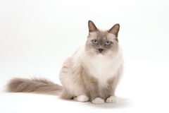 ?ats series - ragdoll Royalty Free Stock Photo