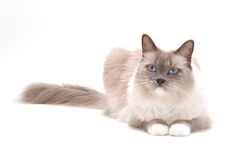 ?ats series - ragdoll Stock Images