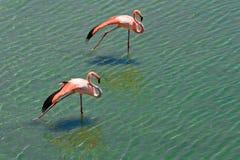 Att älska kopplar ihop av rosa flamingos Arkivfoton