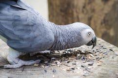 Att äta för arapapegojor kärnar ur på trät Royaltyfri Foto