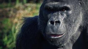 Att äta för gorilla ser upp på kameran stock video