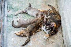 Att äta för kattunge mjölkar Royaltyfri Bild