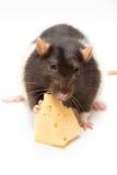 att äta för ost tjaller Arkivbilder