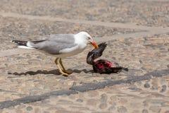 Att äta för Seagull döda dök på gatan Royaltyfria Bilder