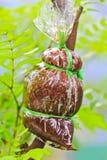 Att att inympa trädet Royaltyfri Fotografi