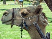Att att rida en favorit- exotisk underhållning för kamel av turister Arkivbild