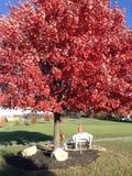Att att sitta under det röda trädet Arkivbilder