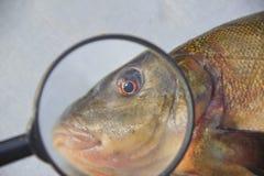 Att att sura fisk Arkivbild