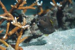 Att att vara en bekymmerslös och sävlig fisk Arkivbild